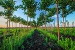 Paulownia-Plantagen