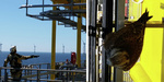 Germany: Young falcon rescued from Nordsee Ost substation