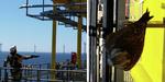 Jungfalke von Nordsee Ost-Umspannwerk gerettet