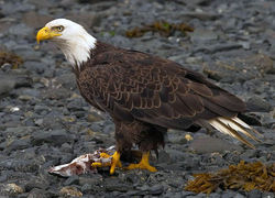 Weißkopfseeadler (By Yathin S Krishnappa (Own work) [CC BY-SA 3.0 (http://creativecommons.org/licenses/by-sa/3.0)], via Wikimedia Commons)