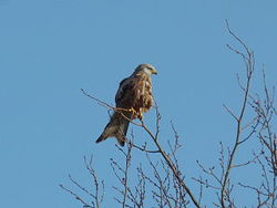 By Synaptic Refuge (red kite) [CC BY 2.0 (http://creativecommons.org/licenses/by/2.0)], via Wikimedia Commons