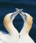 Wind farms are safer for gannets than thought