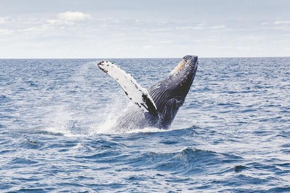 A humpback whale (Image: Pixabay)