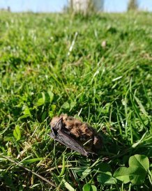 A dead pipistrelle at a wind farm (Image: Fiona Mathews)